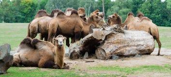 Rebanhos dos camelos no jardim zoológico Fotografia de Stock