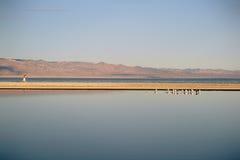 Rebanhos dos pássaros no mar de Salton Imagens de Stock