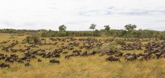 Rebanhos enormes dos ungulates Grande migração de Kenya, África Foto de Stock