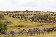 Rebanhos enormes dos ungulates nas planícies de Mara do Masai Kenya, África fotografia de stock royalty free