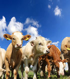 Rebaño de vacas Foto de archivo