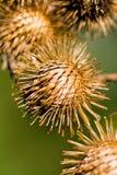 Rebarba Weed Foto de Stock Royalty Free