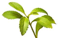 Rebaudiana do Stevia imagem de stock royalty free