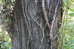 Rebe auf Baum Lizenzfreie Stockfotografie