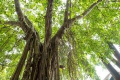 Rebe auf dem großen Baum lizenzfreies stockbild