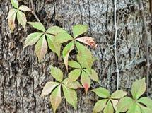 Rebe auf einem Baum stockbilder