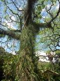 Rebe bedeckter Baum bei Waimea fällt botanischer Garten im Nordufer, Hawaii Lizenzfreies Stockfoto