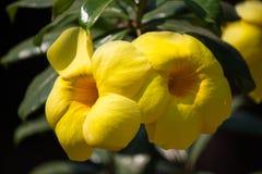 Rebe der goldenen Trompete, Baum der gelben Glocke im Garten lizenzfreie stockfotos