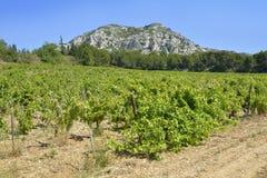 Rebe im Alpilles in Frankreich lizenzfreie stockfotografie