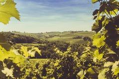 Rebe mit Hügeln im Hintergrund Stockbild
