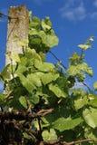 Rebe mit jungen grünen Trauben Stockbild