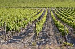 Rebe nahe von Narbonne in Frankreich Lizenzfreie Stockfotos