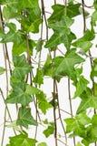 Rebe und Blätter des gemeinen Efeus schließen oben Lizenzfreies Stockbild
