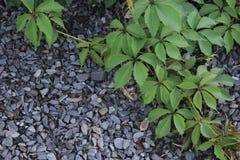 Rebe wilden Trauben liyng auf einem Schutt lizenzfreies stockbild