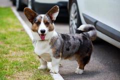 Rebeca del Corgi Gal?s de la raza del perro imágenes de archivo libres de regalías