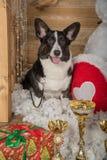Rebeca hermosa del corgi galés de la raza del perro en un estudio del ` s del Año Nuevo Imagen de archivo libre de regalías