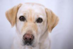 Rebecca le miel doux Labrador image stock
