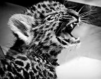 Rebecca 36 leopardo Fotografia Stock Libera da Diritti