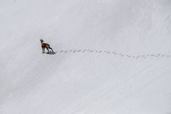 Rebeco chamois in the snow Stock Images