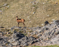 Rebeco in pose. When one can admire the majesty of the chamois stock photos