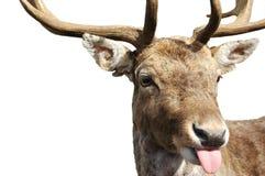 Rebelião de Rudolph Imagens de Stock