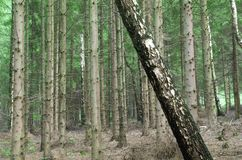 Rebellen boom in een bos Stock Afbeeldingen