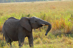 Rebellious Juvenile Elephant. A juvienile elephant shows visible displays of rebellious behaviour royalty free stock image