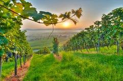 Reben in einem Weinberg Stockfoto