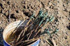 Reben für das Pflanzen Stockfoto