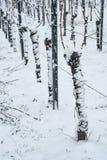 Reben im Winter mit Schnee Stockfotografie