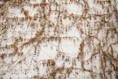 Reben mit Beeren auf weißer Block-Wand Stockbilder