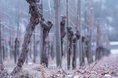 Reben mit knotiger Barke in einem Weinberg Lizenzfreie Stockbilder