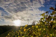 Reben vor Sonnenuntergang stockbild