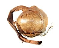Rebento do açafrão amarelo ou do açafrão flavus isolado no fundo branco Imagem de Stock