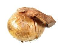 Rebento do açafrão amarelo ou do açafrão flavus isolado no fundo branco Foto de Stock