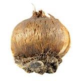 Rebento do açafrão da mola ou do vernus gigante do açafrão ou do açafrão isolado no branco Imagem de Stock