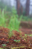 Rebento do pinho na terra Imagem de Stock Royalty Free