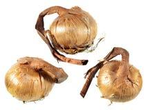 Rebentos do açafrão amarelo ou do açafrão flavus isolado no fundo branco Fotografia de Stock