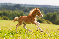 Źrebię mini koński Falabella Obraz Stock