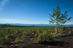 Rebirth of a forest on the volcanic landscape around Tolbachik Volcano Royalty Free Stock Images