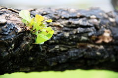 Rebirth Plant on the long Log Royalty Free Stock Images