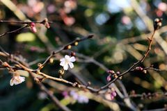 Floral bud opening first spring flowers in the trees stock images