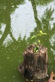 Rebirth of a tree; a dead stump sitting in a swampy lake, giving birth to a new seedling. Rebirth of a tree; a dead stump sitting in a swampy lake, giving birth stock images