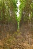 Reboisement d'eucalyptus Photos stock