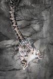 Rebond de mur de léopard de neige Image libre de droits