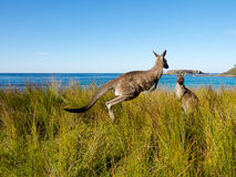 Rebondissement du kangourou sur une plage australienne Image libre de droits