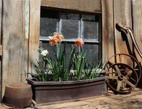 Rebord de fenêtre de grange avec des jonquilles Image stock