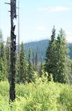 Rebrota dos incêndios florestais velhos no parque nacional de geleira Foto de Stock Royalty Free
