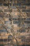 Rebstock auf einer alten verwitterten Backsteinmauer Lizenzfreies Stockfoto