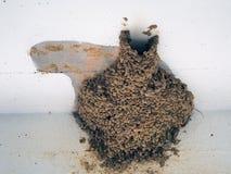 Rebuilt Swallow Nest. Mud ball swallow nest, rebuilt in same position Stock Photos